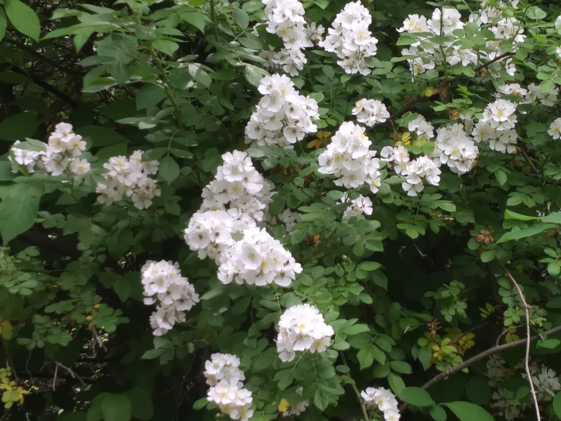 White flowers bush