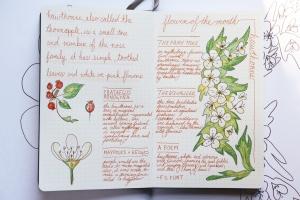 Hawthorn flower bullet journal